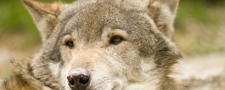 Vom Umgang mit Wölfen