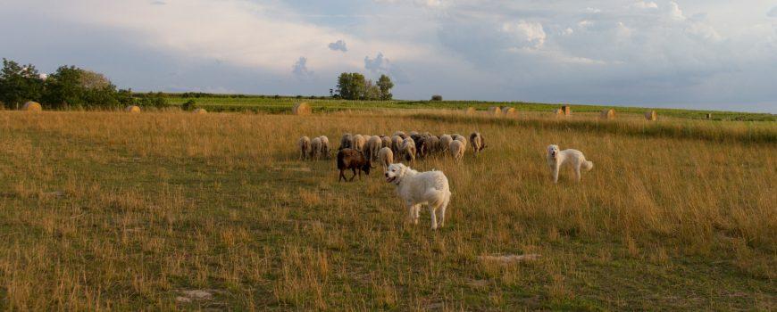 Herdenschutzhunde am Landschaftspflegehof Klaffl Copyright: Hartmut Schnedl