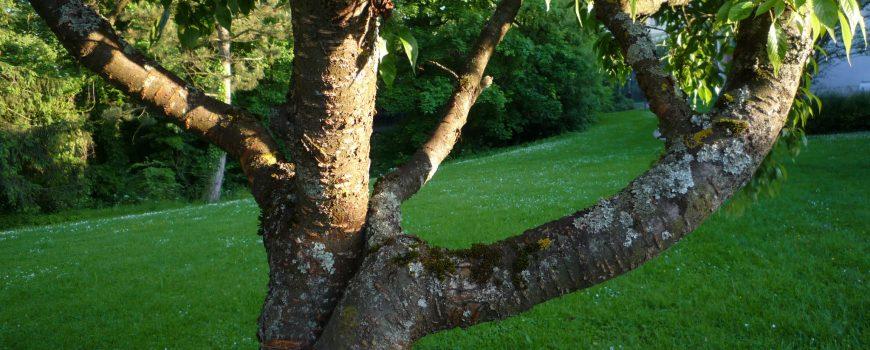 Kirschbaum verwachsen 535