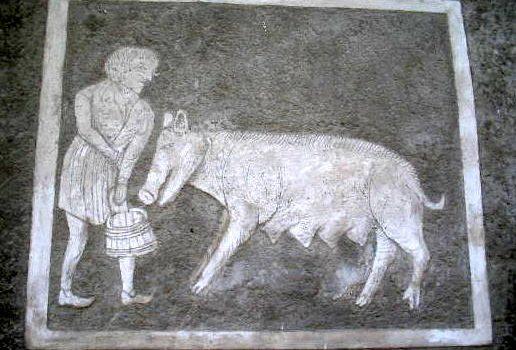Schwein Slavonice 65