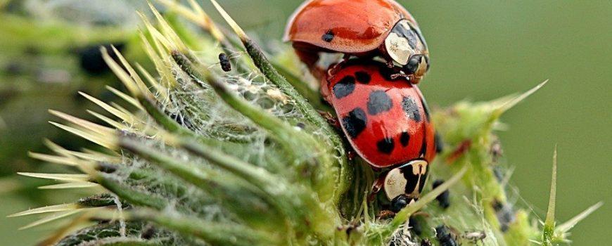 Asiatischer Marienkäfer Asiatischer Marienkäfer; Paarung, neben Blattläusen