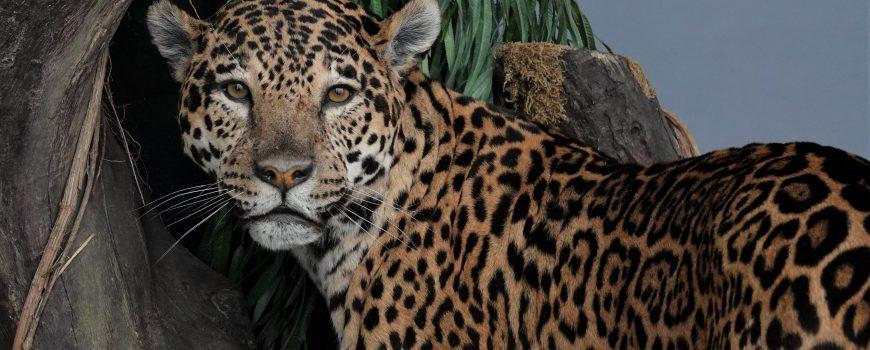 Die Kunst des Präparierens: Jaguar, Dieter Schön, 2002