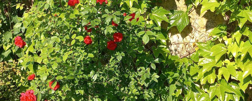 Strauch von der einsamen Rose